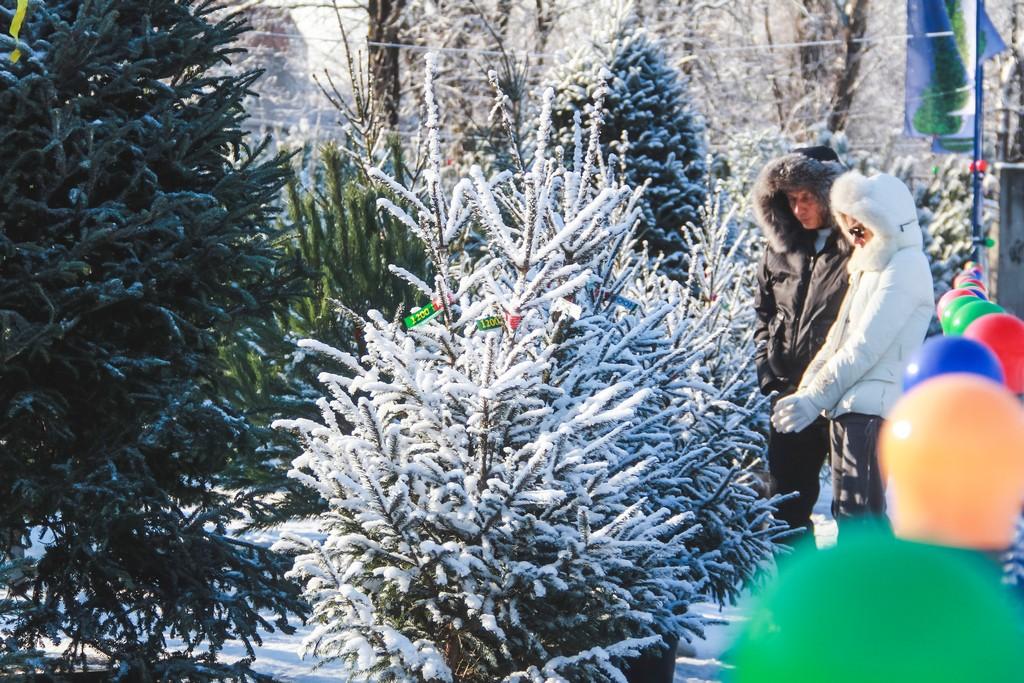 выбор новогоднего дерева